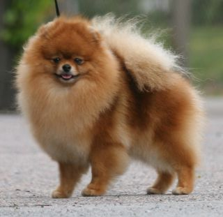 What Does a Toy Poodle Look Like